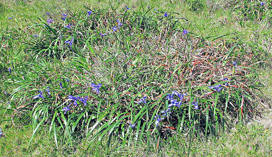 "A ""fairy ring"" expanding iris clump"