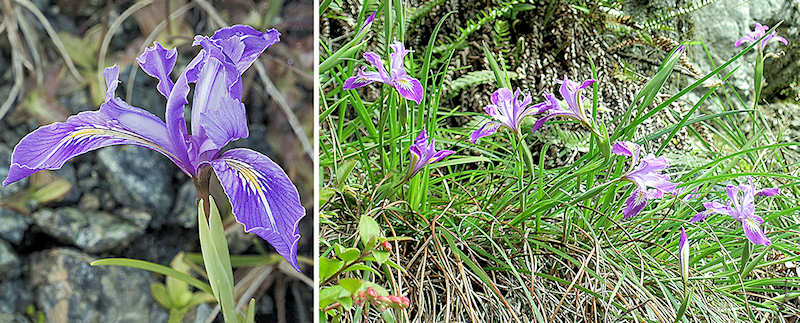 Thompson's iris flower and clump